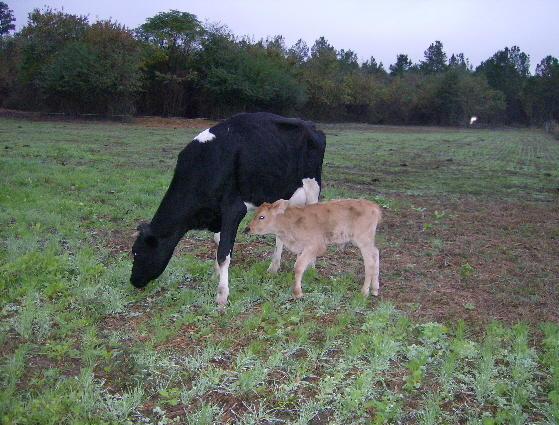 Lillie_and_calf2